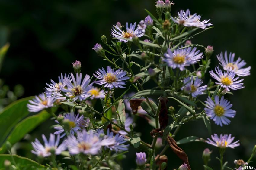 Синяя садовая ромашка::Зарисовки. Природа