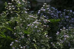 Синяя садовая ромашка
