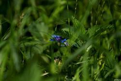 Василек в траве