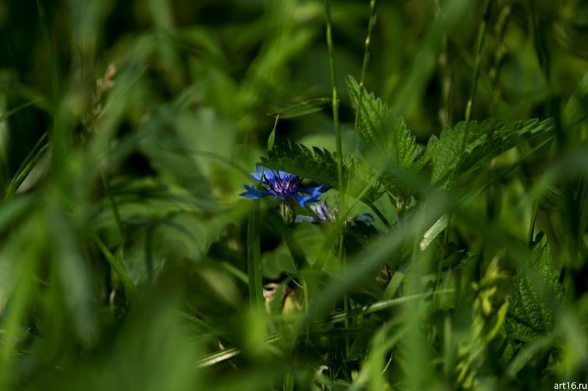 Василек в траве::Зарисовки. Природа