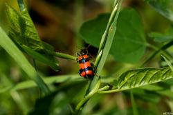 Полосатый жук