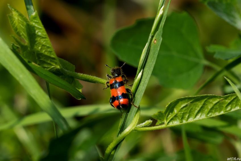 Фото №897945. Полосатый жук