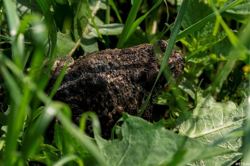 Травяная лягушка::Зарисовки. Природа