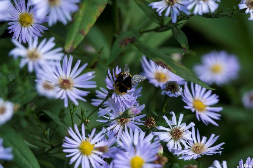 Шмель на синей садовой ромашке::Зарисовки. Природа