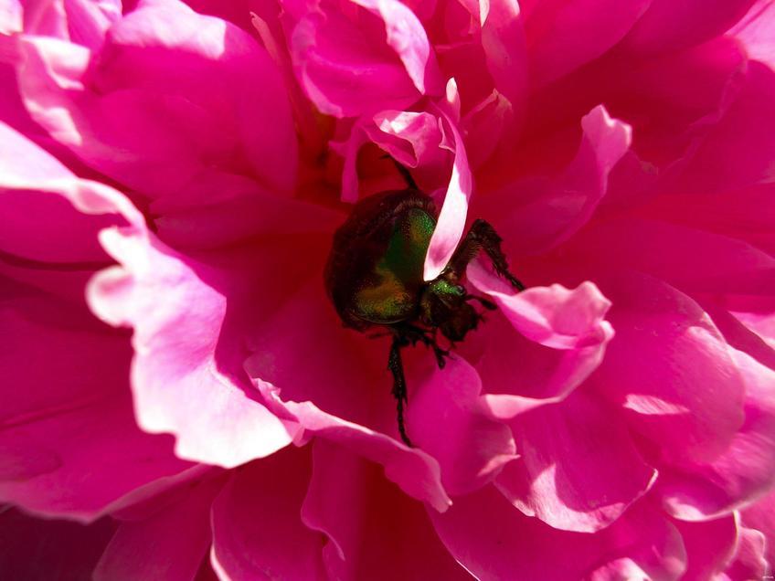 Майский жук  в пионе::Зарисовки. Природа