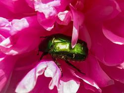 Майский жук  в пионе
