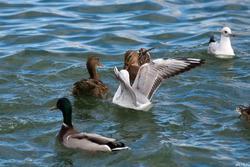 Утки, чайки. Озеро Нижний Кабан, октябрь 2016