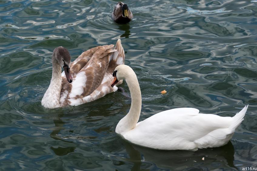 Лебеди на Нижнем Кабане, октябрь 2016::Казань, осень, природа