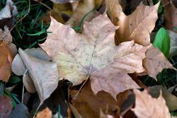 Кленовый лист. Октябрь 2016