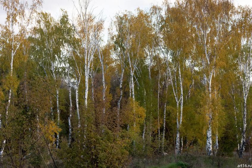 Березовая рощица перед Речным вокзалом::Казань, осень, природа