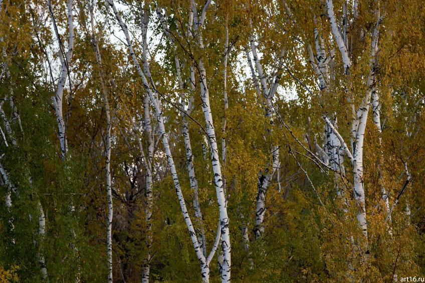 Березы в октябре. 2016, Казань, Речной порт::Казань, осень, природа