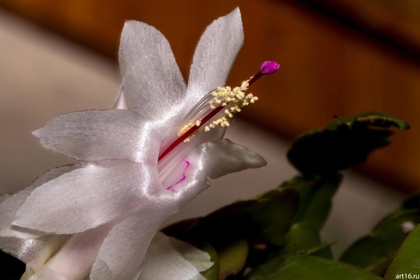 Декабрист (Варварин цвет, Рождественник, зигокактус Шлюмбергера)::Зарисовки. Природа