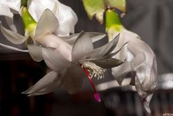Декабрист (Варварин цвет, Рождественник, зигокактус Шлюмбергера)