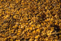 Березовый листопад