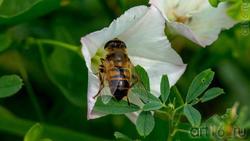 Вьюнок полевой опыляет Ильница цепкая (лат. Eristalis tenax) — вид мух-журчалок