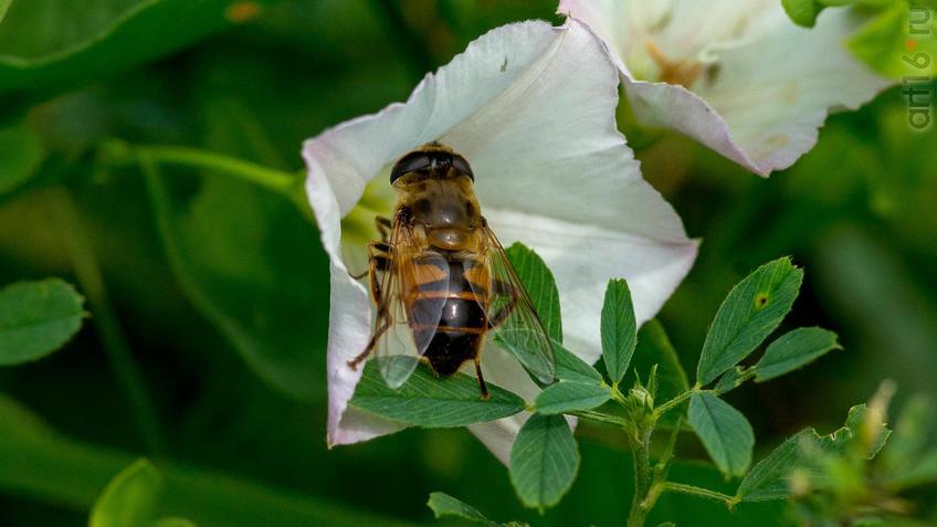 Вьюнок полевой опыляет Ильница цепкая (лат. Eristalis tenax) — вид мух-журчалок::2018