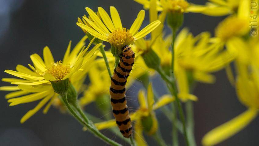 Гусеница — личинка насекомых из отряда чешуекрылых (бабочек)::2018