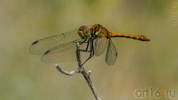 Стрекоза стрелка (самка), (лат. Coenagrionidae)