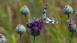 Пестроглазка галатея (лат. Melanargia galathea Linnaeus, 1767) — вид дневных бабочек из семейства Бархатниц