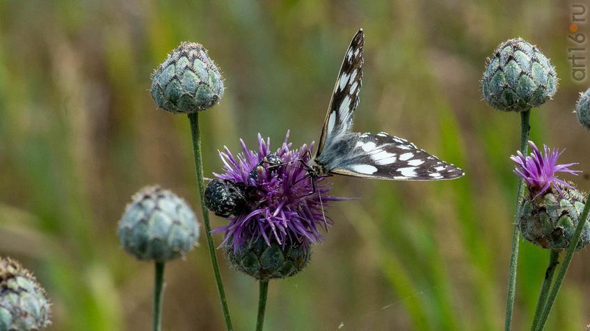 Пестроглазка галатея (лат. Melanargia galathea Linnaeus, 1767) — вид дневных бабочек из семейства Бархатниц::2018