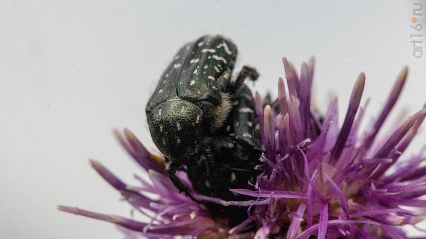 Бронзовка мохнатая, олёнка (Tropinota hirta). Самец и самка::2018