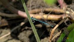Стрекоза стрелка (лат. Coenagrionidae)