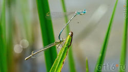 Стрекозы-стрелки (тандем самца и самки). Момент спаривания