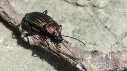 Жужелица (Carabidae)