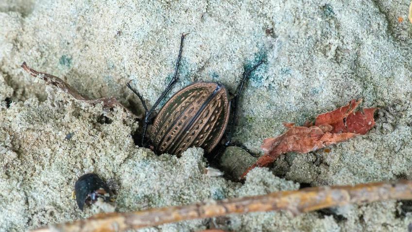 Жужелица (Carabidae)::2018