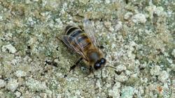 Пчела (лат. Anthophila)