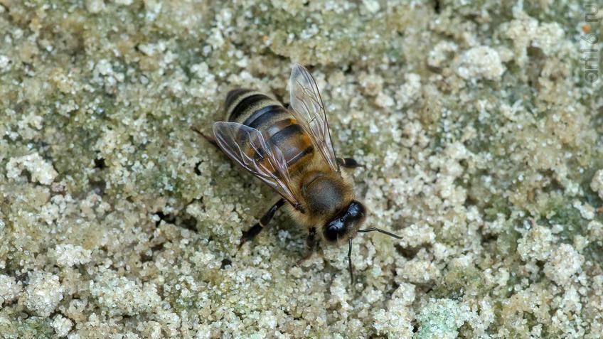 Пчела (лат. Anthophila)::2018