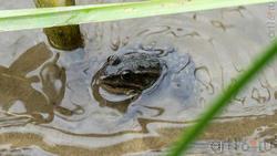 Обитатель прудов и рек  - лягушка