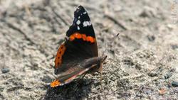 Адмирал (лат. Vanessa atalanta) — дневная бабочка из семейства нимфалид (Nymphalidae).