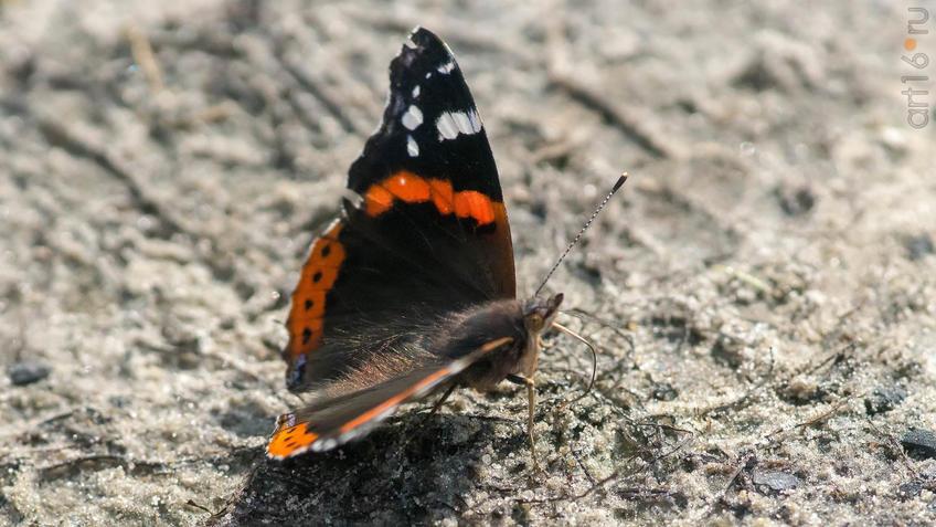 Адмирал (лат. Vanessa atalanta) — дневная бабочка из семейства нимфалид (Nymphalidae).::2018