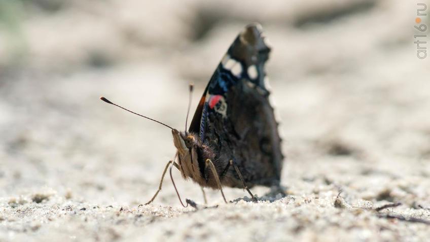 Адмирал (лат. Vanessa atalanta) — дневная бабочка из семейства нимфалид (Nymphalidae)::2018