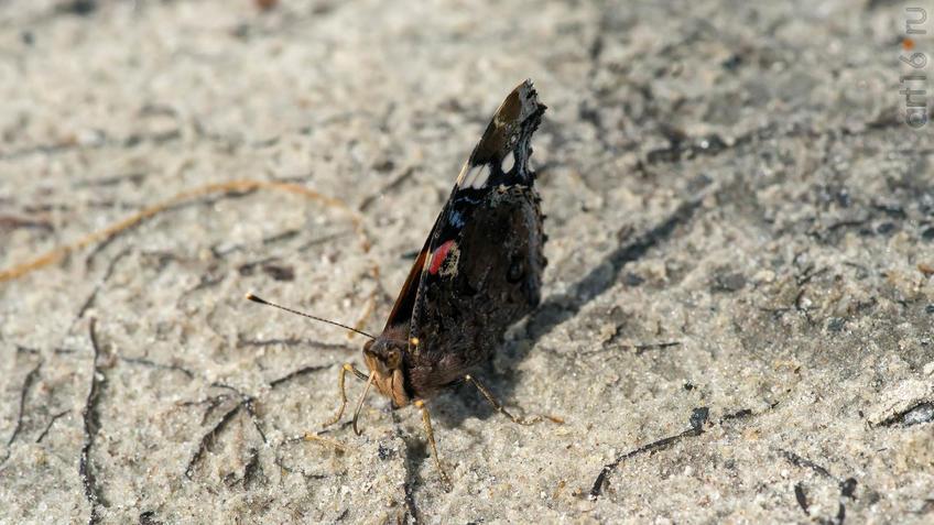 Фото №945308. Адмирал (лат. Vanessa atalanta) — дневная бабочка из семейства нимфалид (Nymphalidae)