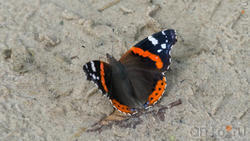 Адмирал (лат. Vanessa atalanta) — дневная бабочка из семейства нимфалид (Nymphalidae)