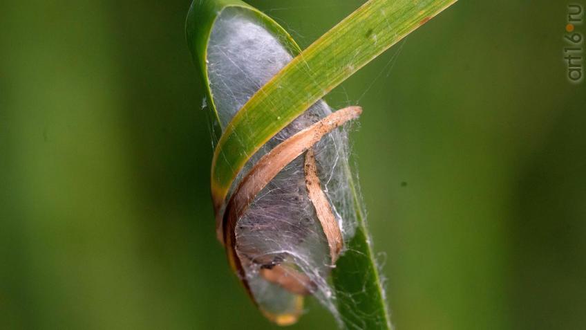 Фото №945343. Кокон из паутины на листе Аира