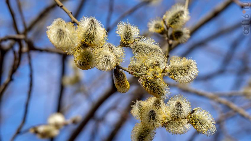 Цветение Ивы::20190424 - весна природа лес птицы