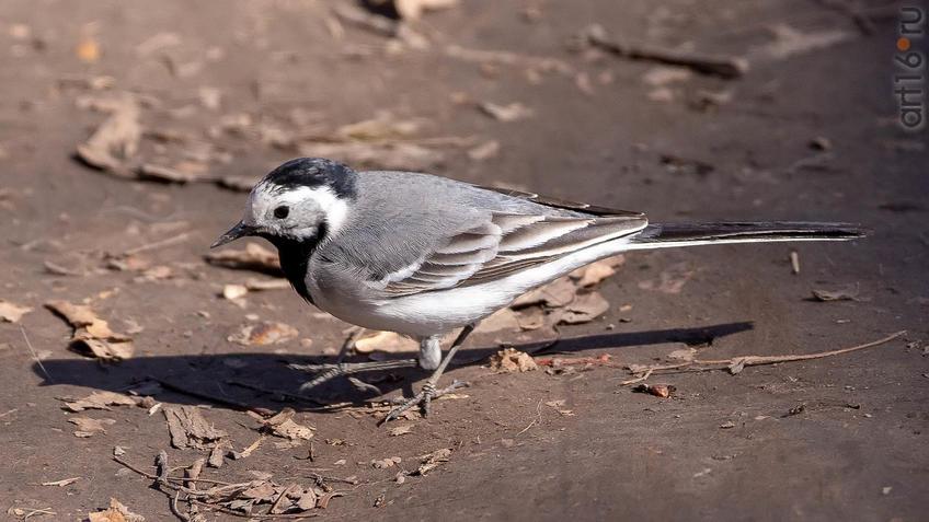 Белая трясогузка::20190424 - весна природа лес птицы