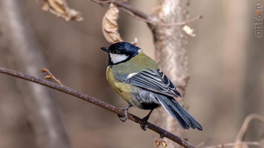 Большая синица (Parus major) - хищник::20190424 - весна природа лес птицы
