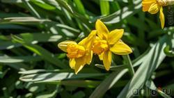 Нарцис (Narcissus pseudonarcissus)