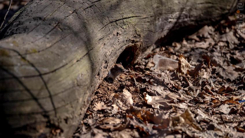 Рыжая полевка - самый многочисленный грызун в лесах средней полосы России::20190424 - весна природа лес птицы
