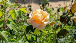 Цветник из роз  на площади с фонтанами